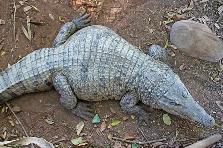Cá sấu mõm ngắn Mỹ