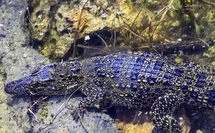 Cá sấu Caiman đen