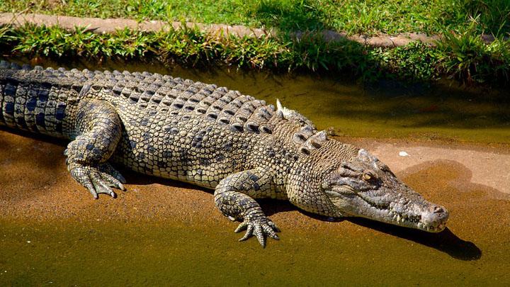 Cá sấu đầm lầy