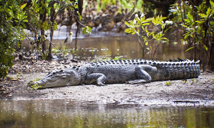 Miêu tả cá sấu