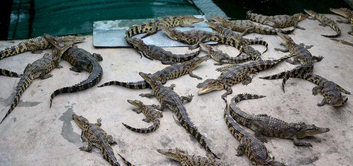 Hợp tác xã cá sấu giống Nam Bộ