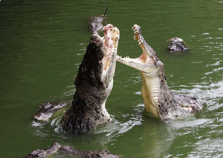 Mùa cá sấu hung hãn