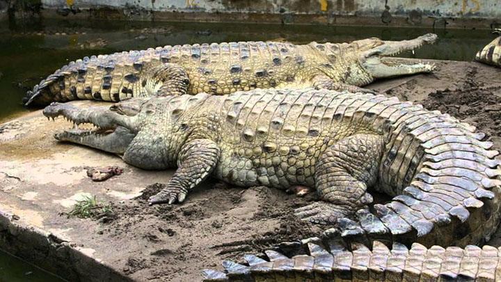 Cá sấu Orinoco