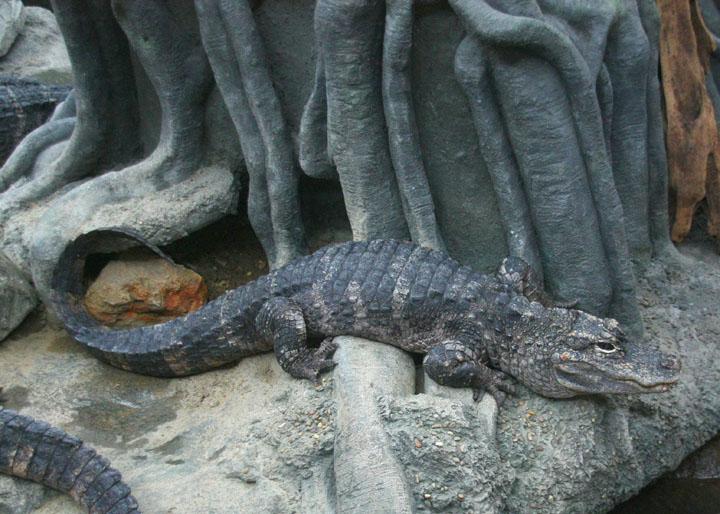 Cá sấu Dương Tử