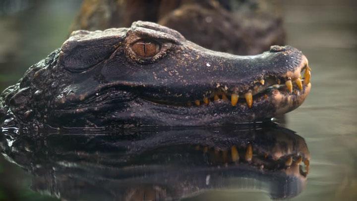 Cá sấu lùn xạ hương