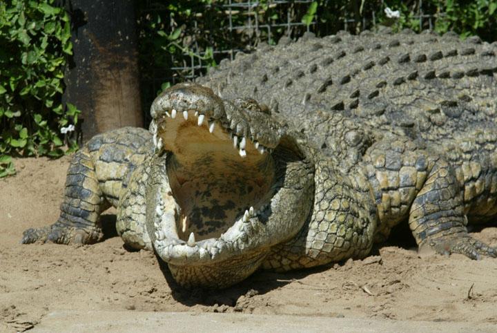 Cá sấu Mã Lai