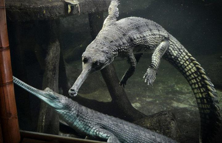 Cá sấu mõm dài