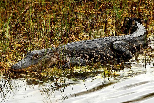 Cá sấu thường sống ở đâu?