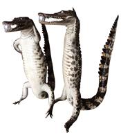 Cá sấu nhồi bông kiểu đứng loại lớn da tự nhiên hàng giá rẻ nhất