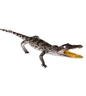 Cá sấu nhồi bông treo tường dài 40 cm trở lên giá rẻ tại Kiều Hưng