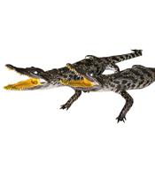 Cá sấu nhồi bông treo tường dài 50 cm trở lên giá rẻ tại Kiều Hưng