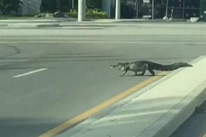 Cá sấu nhởn nhơ đi trên đường sau bão Matthew