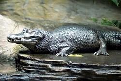 [CẢNH BÁO] 7 loài cá sấu ăn thịt nguy hiểm nhất cho con người