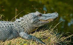 Cá sấu sông Nin, loài bò sát thực sự không lồ nguy hiểm