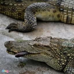 Top 3 địa chỉ bán cá sấu con có giá tốt nhất hiện nay 2019