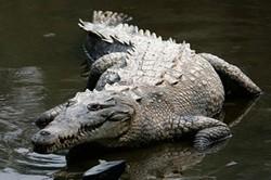 Chuyện lạ về cá sấu, loài bò sát hung tợn nhất thế giới và thú vị
