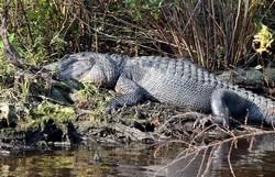 Cá sấu đầm lầy (cá sấu Ba Tư) có thực sự quá nguy hiển